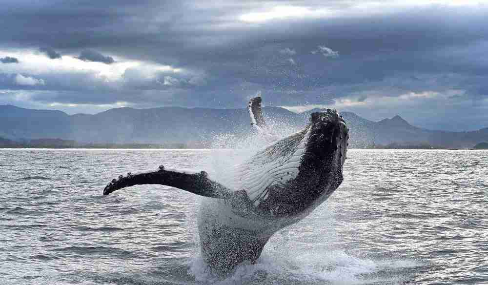 Hump Back Whale breaching against a stormy sky