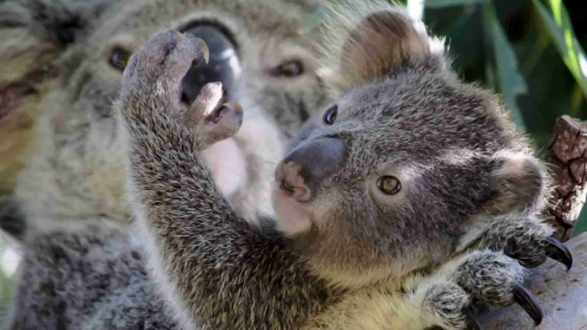 Mother and baby koala in a tree the baby koala is holding his mother's nose with one paw