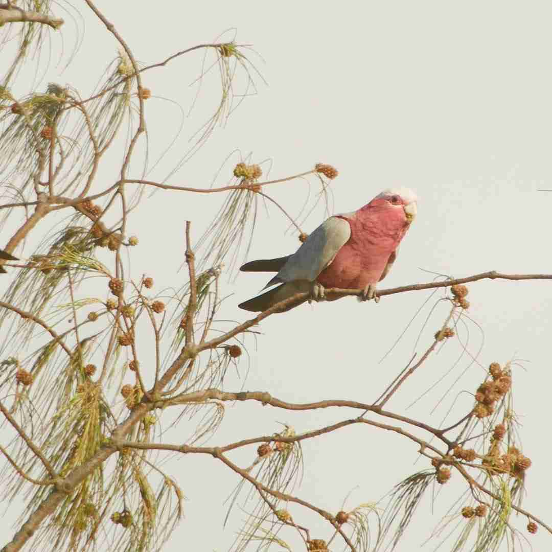 pink cockatoo sitting on a branch